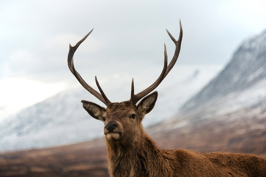 red deer highlands scotland wildlife tours